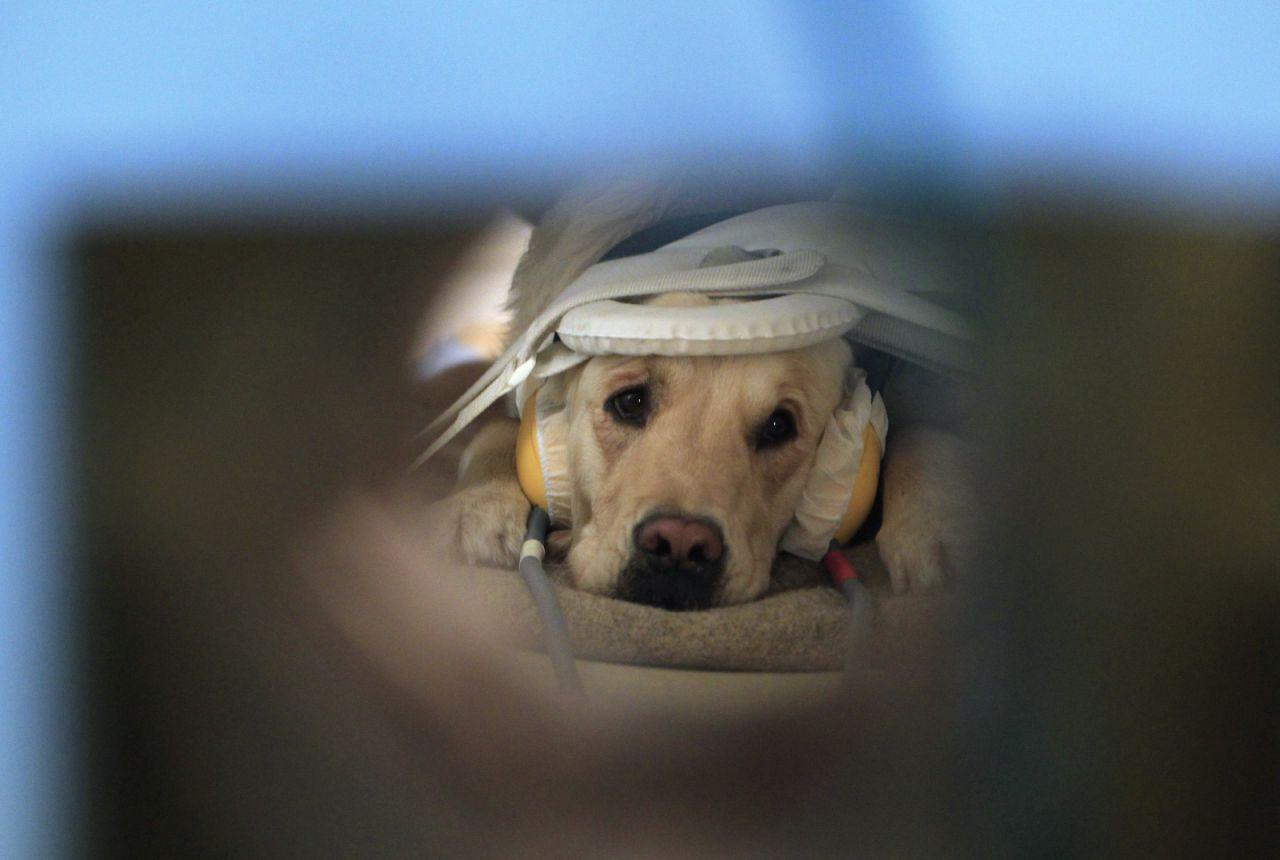Ученые: Собаки понимают как слова, так иинтонацию