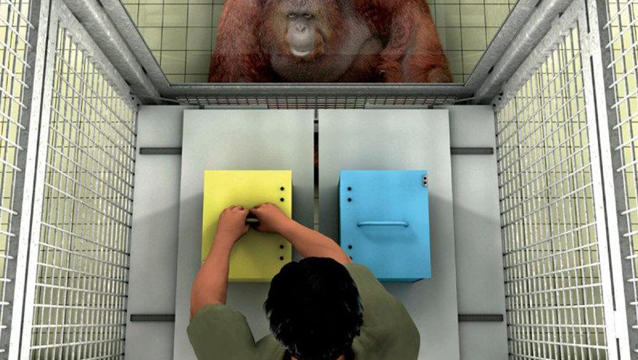 Германские ученые доказали, что обезьяны всостоянии распознавать настоящие и неверные убеждения