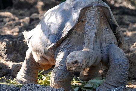 Умер «Одинокий Джордж»— последняя в мире слоновая черепаха