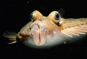 Найдено переходное звено от обычных рыб к камбалам