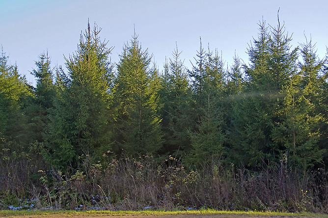 Несмотря на очевидную бесперспективность и вредность, органы лесного хозяйства создают новые посадки ели.