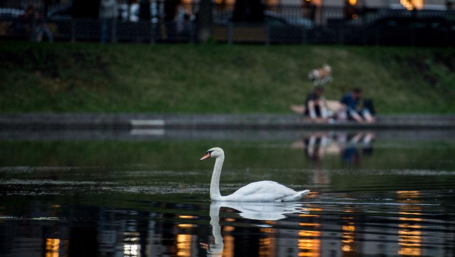 Лебедь на Патриарших прудах в Москве