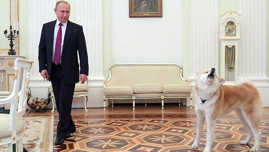 Владимир Путин с собакой Юмэ породы акита-ину перед началом интервью в Кремле телекомпании «Ниппон» и газете «Иомиури» в преддверии официального визита в Японию, 7 декабря 2016 года