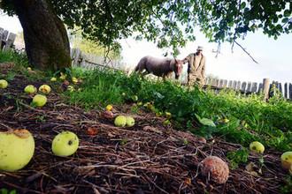 Яблочная каша под ногами: почему в России гниет урожай