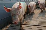 ВТО отклонила апелляцию России по делу об импорте свинины из ЕС