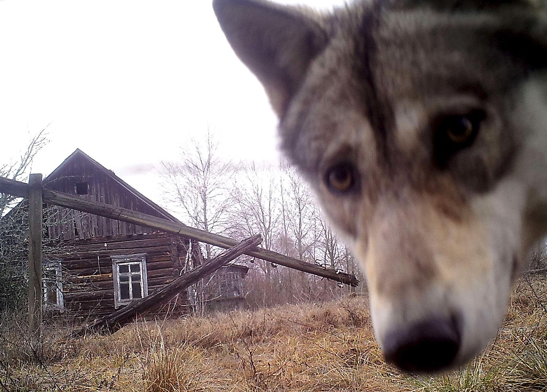 Волк смотрит в камеру в 30-километровой зоне отчуждения вокруг Чернобыльской АЭС в заброшенной деревне Оревичи, Белоруссия