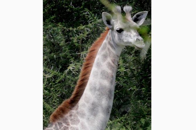 Редкий белый жираф замечен в Танзании