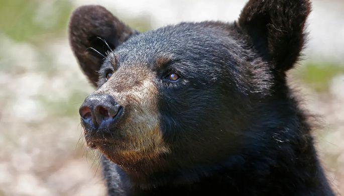 Медведь напал на военного на авиабазе в Японии