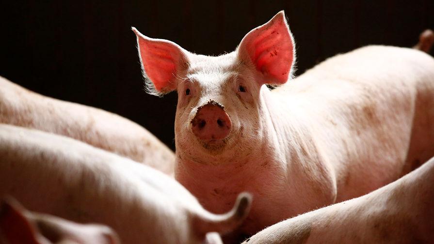 Под Белгородом зафиксировали вспышку африканской чумы свиней
