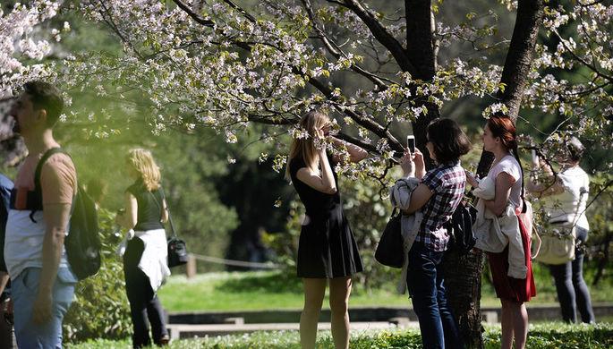 Цветение сакуры в Ботаническом саду в Москве