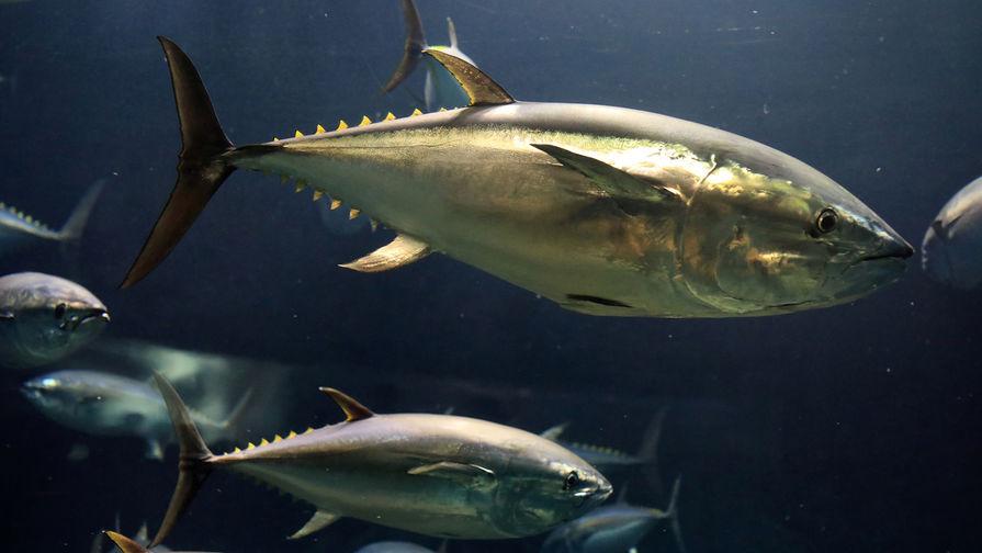 Поставки тунца в Россию упали почти на треть