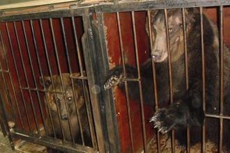 Медведи в клетках Большого Санкт-Петербургского цирка на Фонтанке