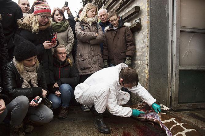 Умерщвление полуторагодовалого жирафа Мариуса в Копенгагенском зоопарке