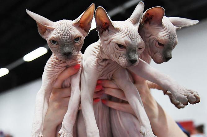 Кошки породы канадский сфинкс на международной выставке «Жемчужное шоу кошек»