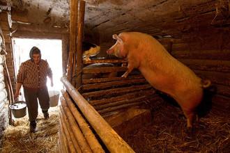 В Белоруссии поэтапно вводится запрет на выращивание свиней на личных подворьях и фермах