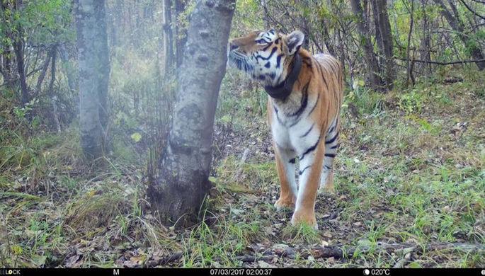 Утащивший собак у пограничников тигр Тихон умер в Приморье