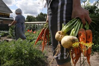 Дачники собирают урожай на своих участках