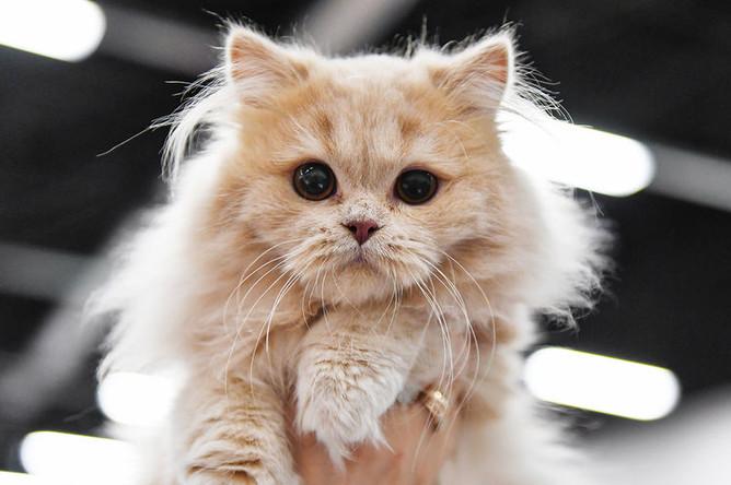Кошка породы хайленд-страйт (шотландская прямоухая длинношерстная) на международной выставке «Жемчужное шоу кошек»