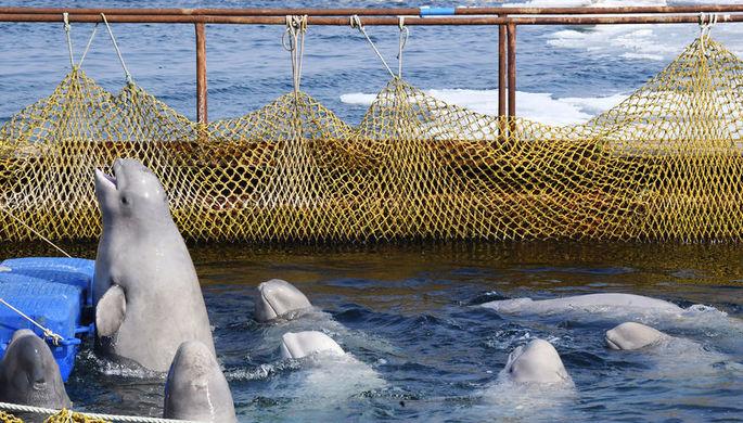 «Китовая тюрьма»: что сделают с косатками