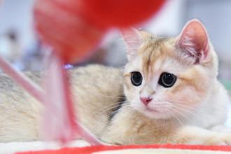 Кошка породы британская на международной выставке «Жемчужное шоу кошек»
