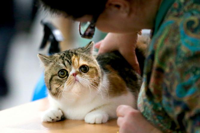 Экзотическая короткошерстная кошка на выставке «День влюбленных котов» в КВЦ «Сокольники»