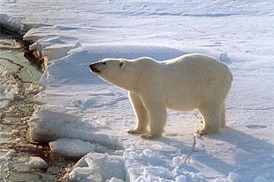 """Белый медведь пытался прорваться в жилой дом сотрудников полярной станции  """"Валькаркай """" на Чукотке..."""