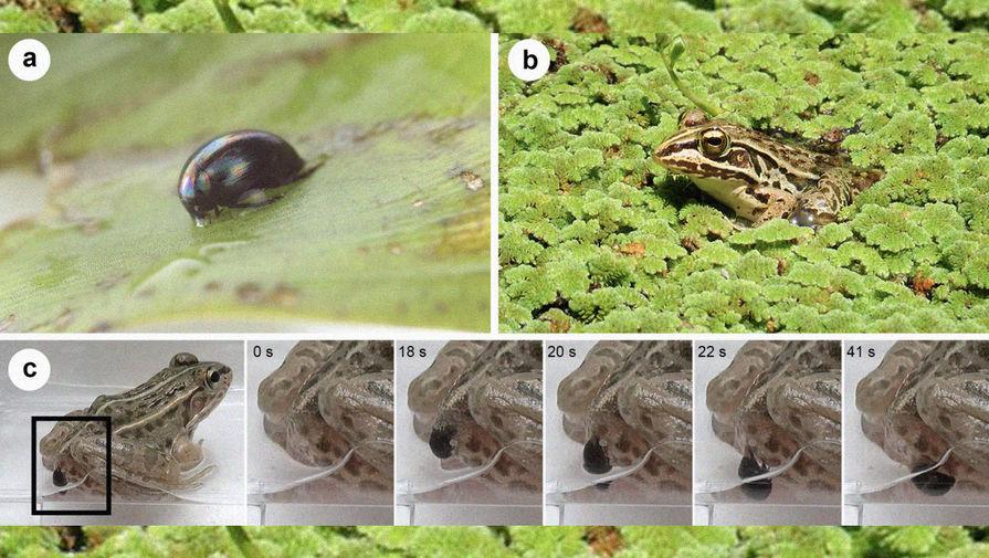 Путь к свободе: как жук находит выход из лягушки