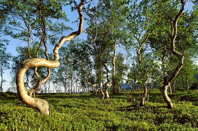 Условия для древесной растительности здесь экстремальны: короткое лето, длинная морозная зима, бедные почвы. Деревья под воздействием мороза и ветра часто принимают причудливые формы, и имеют очень плотную древесину из-за медленного роста.