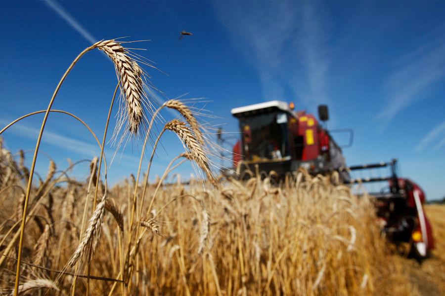 Стали известны темпы СЃР±РѕСЂР° урожая пшеницы РІРРѕСЃСЃРёРё