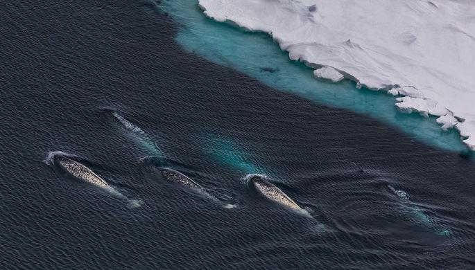 В Арктике завершилась экспедиция по изучению морских единорогов