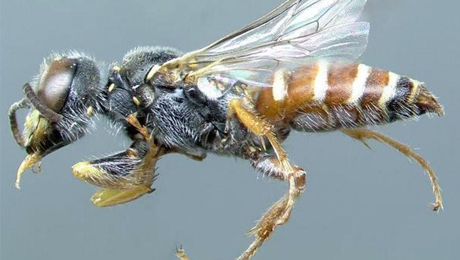 Еще одна роющая оса — Pseudoscolia aequatoria