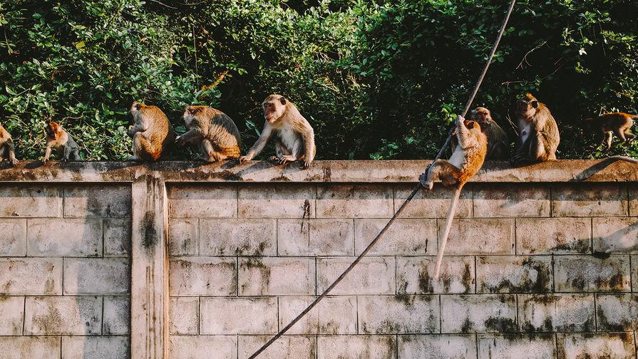 В Белфасте сбежавшие из зоопарка шимпанзе погуляли и вернулись в вольер