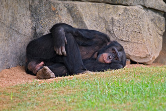 У человекообразных обезьян обнаружили кризис среднего возраста