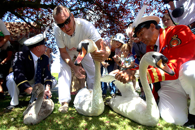 Церемония подсчета лебедей-шипунов на реке Темзе