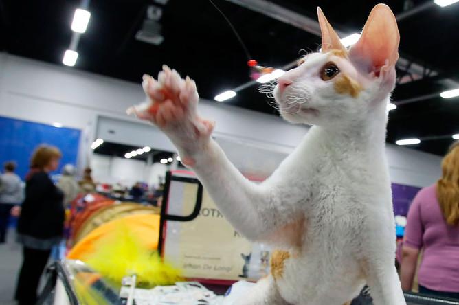 Кот породы корниш-рекс на выставке «День влюбленных котов» в КВЦ «Сокольники»