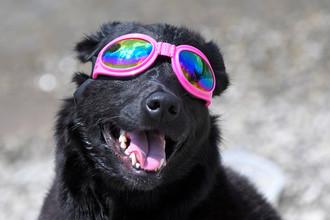 Собака наблюдает за солнечным затмением в Нашвилле, штат Теннесси, 21 августа 2017 года