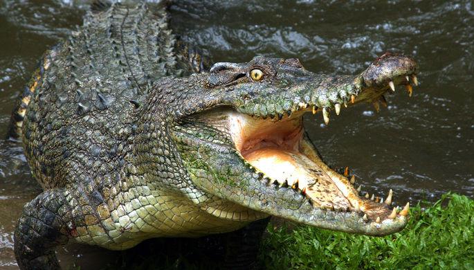 Конские манеры: как бегают крокодилы