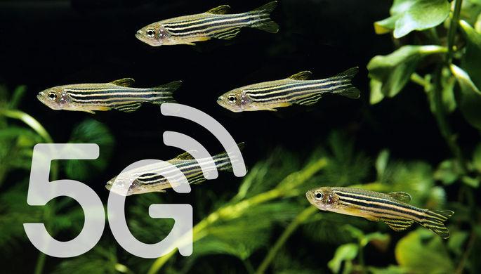 Облучили волнами:5G проверили на рыбах