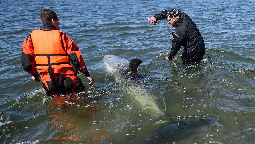 Специалисты Приморской краевой поисково-спасательной службы во время спасения редкого серого дельфина, застрявшего на мелководье в бухте Мелководная, 6 июня 2020 года