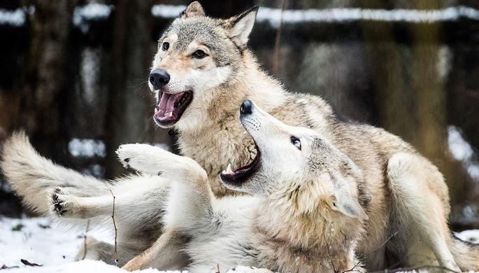 «Покоя не дают»: ждать ли в России «нашествия волков»