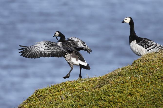 Ненецкий заповедник в Печорском море — место гнездования водоплавающих птиц. Ему угрожают...
