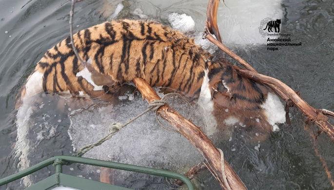 «Не принадлежал заповеднику»: в Хабаровском крае ищут убийц тигра