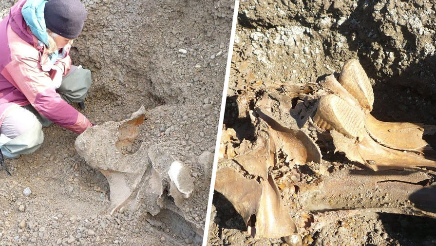 Кости самого молодого мамонта нашли на Чукотке