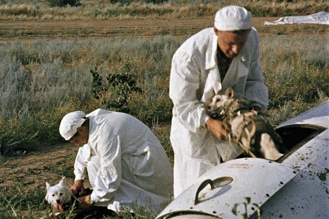 Врачи извлекают подопытных собак из кабины головной части геофизической ракеты на месте приземления, 20 августа 1960 года