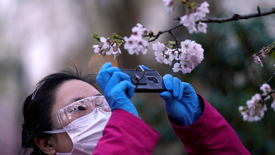 Во время сезона цветения сакуры в Шанхае, Китай, март 2020 года