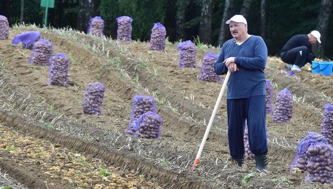 Президент Белоруссии Александр Лукашенко во время сбора урожая картофеля на своем участке, август...