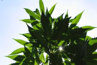 Заинтересованные россияне всегда найдут способ извлечь наркотик из растения