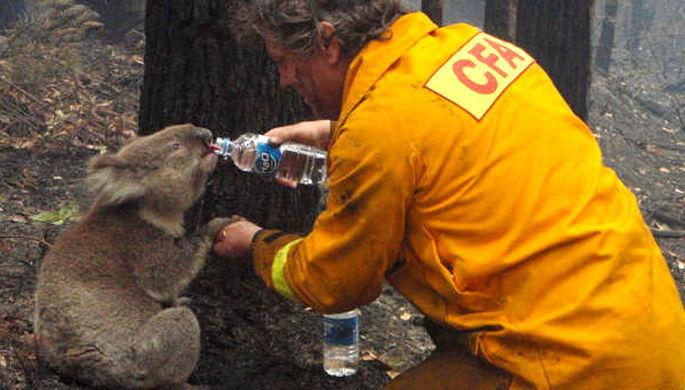 Уничтожены тысячи коал: как пожары раскололи Австралию