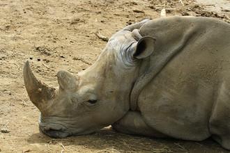 Носорог в зоопарке Тбилиси