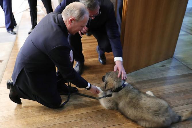 Президент России Владимир Путин и щенок шарпланинской овчарки, подаренный ему президентом Сербии Александром Вучичем, 17 января 2019 года